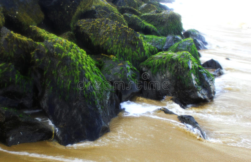 Algas do mar nas rochas foto de stock royalty free