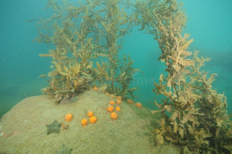 Algas marinas y esponjas amarillas en roca imagenes de archivo