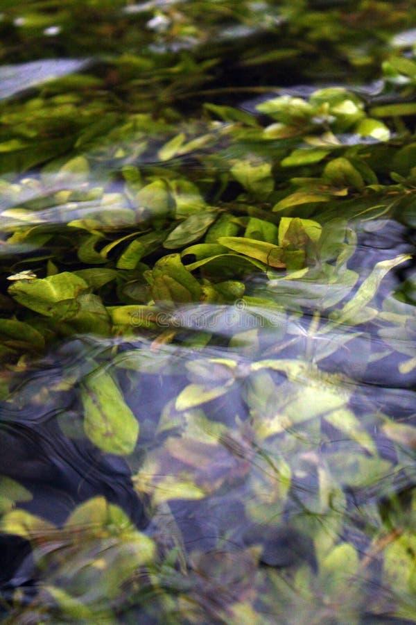 Algas sob a superfície da água fotos de stock