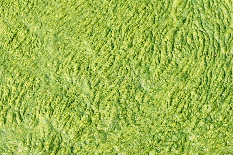 Algas verdes fotografía de archivo