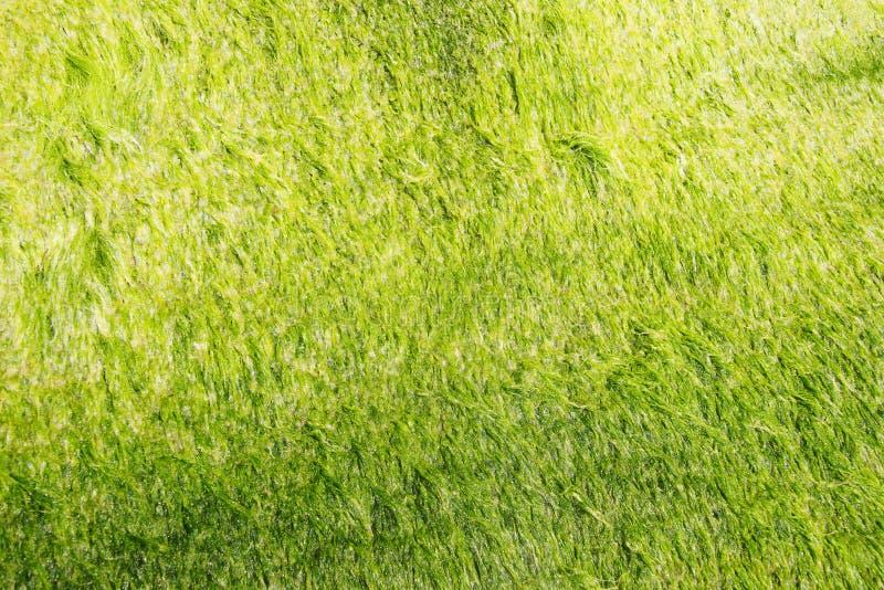 Algas verdes de néon imagem de stock royalty free