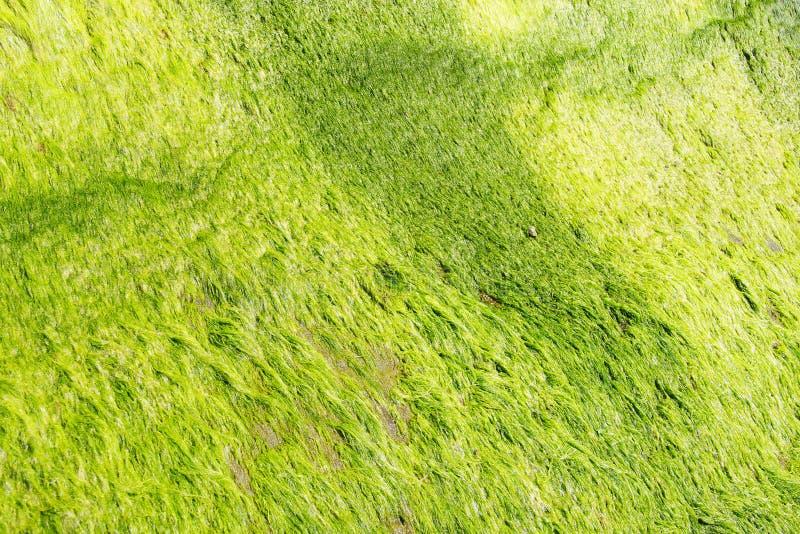 Algas verdes de néon fotos de stock royalty free