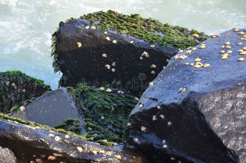 Algas verdes em rochas fotografia de stock
