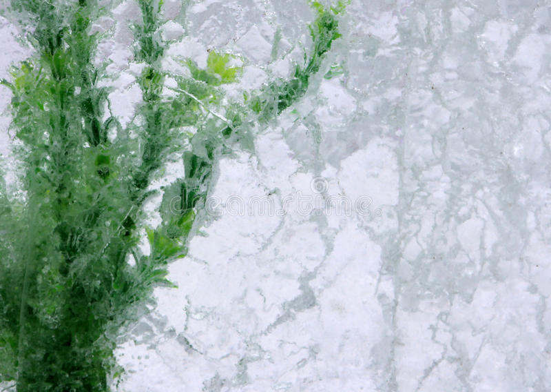Algas verdes en bloque de hielo imagen de archivo