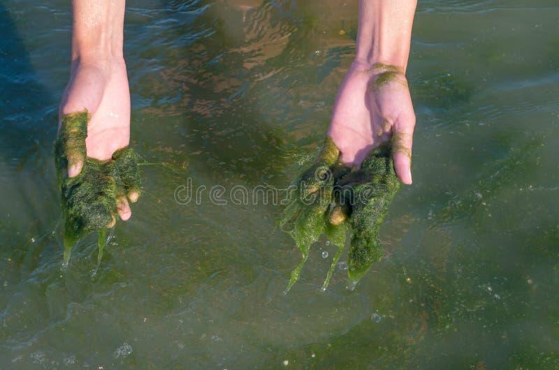 Algas verdes en las manos, agua fangosa, contaminación del mar fotos de archivo libres de regalías