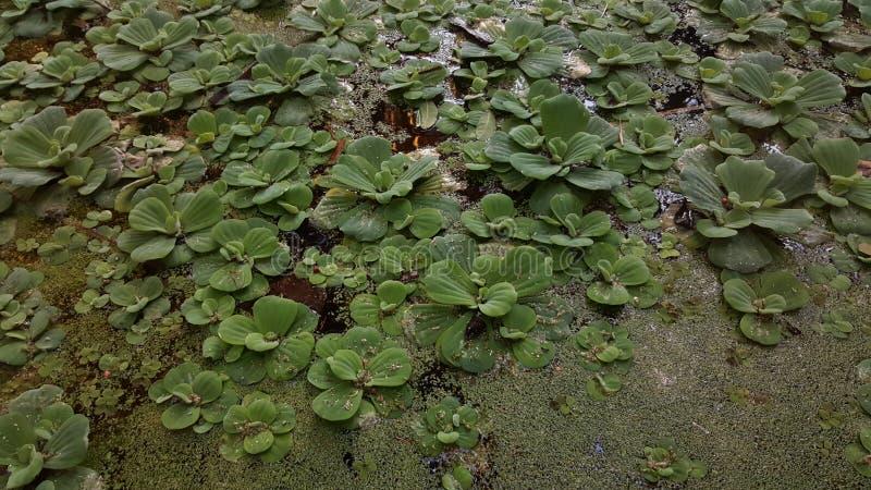 Alge di galleggiamento immagine stock