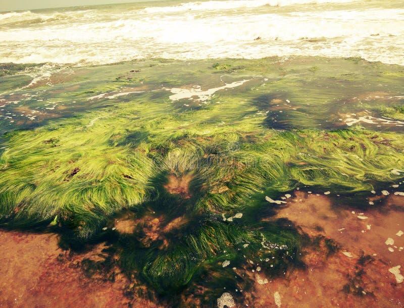 Algea naturer, idérikt som är gröna, hav arkivfoton