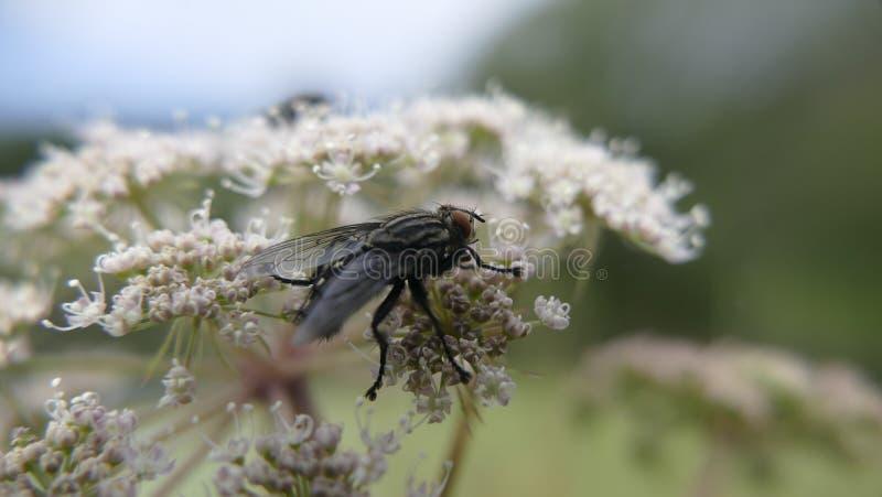 Algemeen genoemd geworden vleesvliegen royalty-vrije stock afbeeldingen