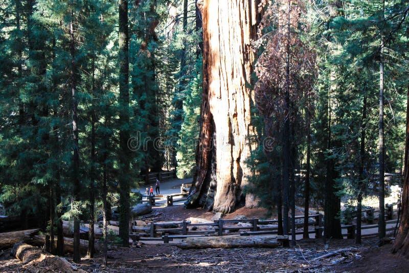 Algemene Sherman-boom in Sequoia Nationaal Park royalty-vrije stock fotografie