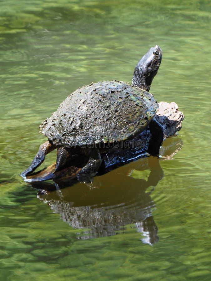 Algen bedeckten Shell der River- Cooterschildkröte aalend auf Klotz stockfoto