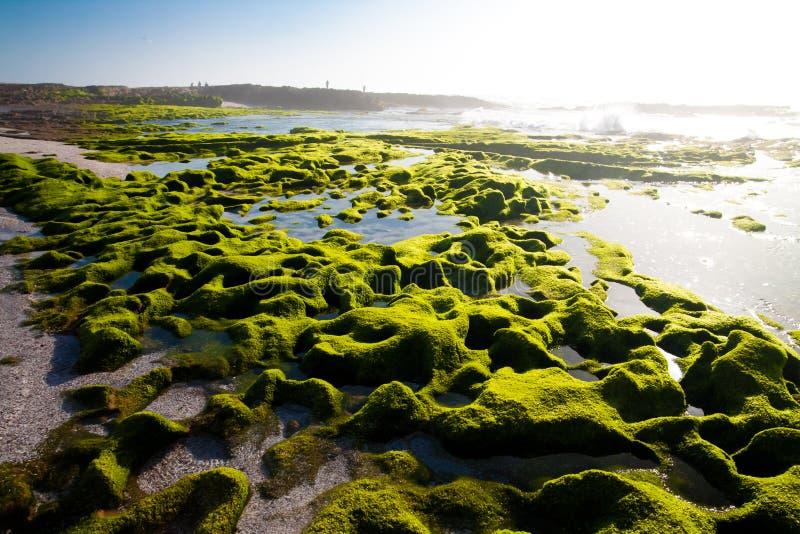 Algen op de kust stock foto