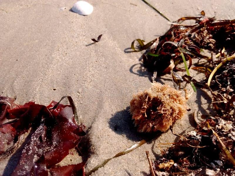 Algenzand en rotsen op het strand met Shell stock afbeelding