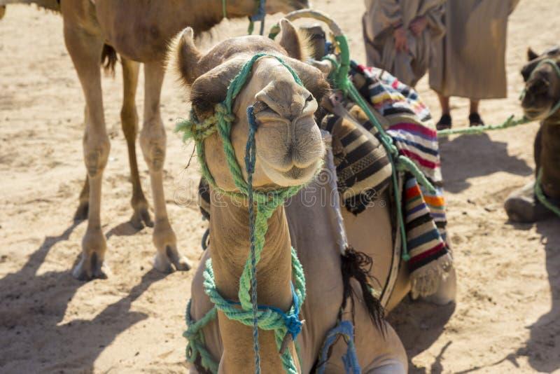 Algerijnse kameel in de woestijn van de Sahara stock foto