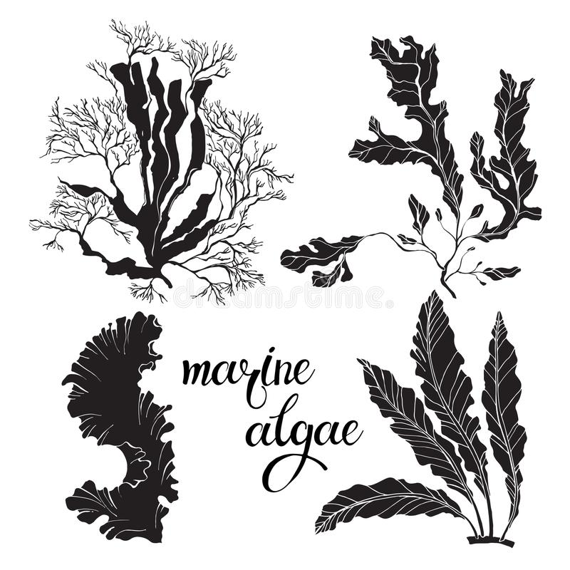 Alghe marine Illustrazione disegnata a mano di vettore su un fondo bianco Raccolta degli elementi isolati della siluetta per prog illustrazione di stock