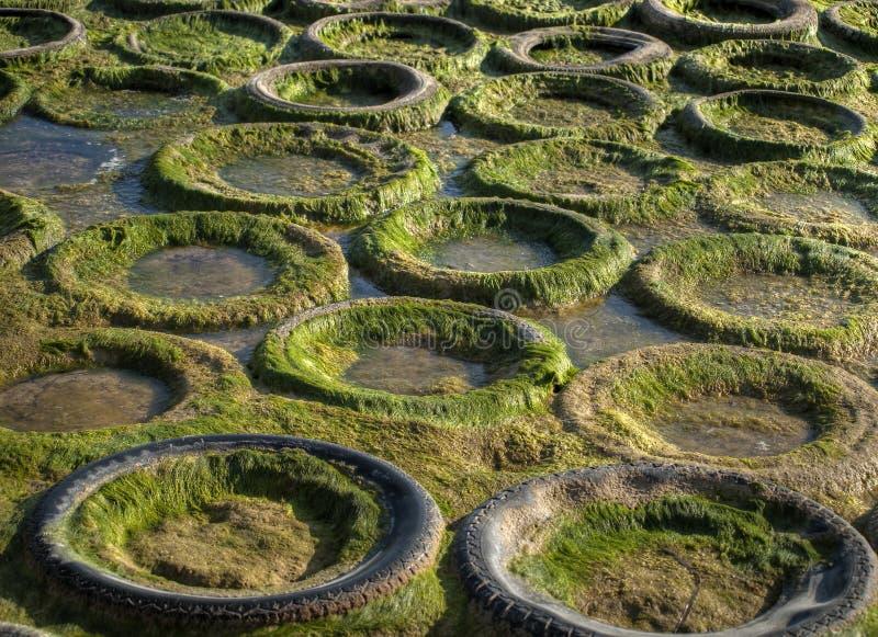 algi gumowe zdjęcia royalty free