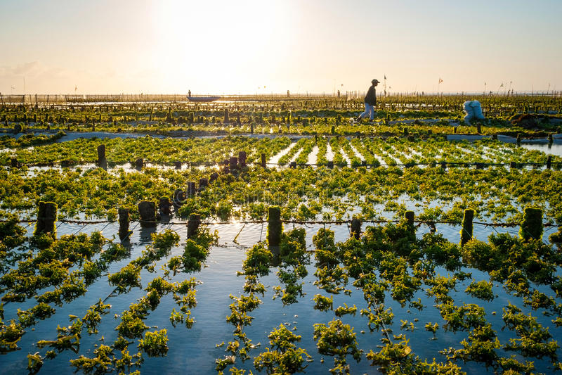 Alglantgårdfält i Indonesien royaltyfri fotografi