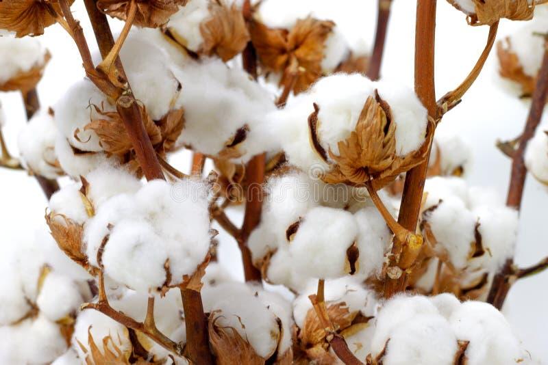 Algodão branco orgânico do close up branco natural das cápsulas do algodão imagem de stock royalty free