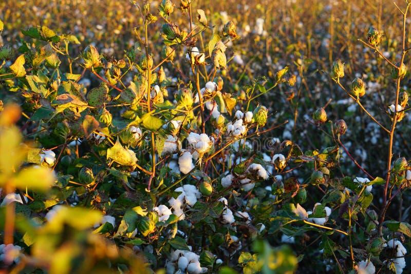 ¡Algodón-campo listo para la cosecha en la salida del sol! (Fichero grande) imagenes de archivo
