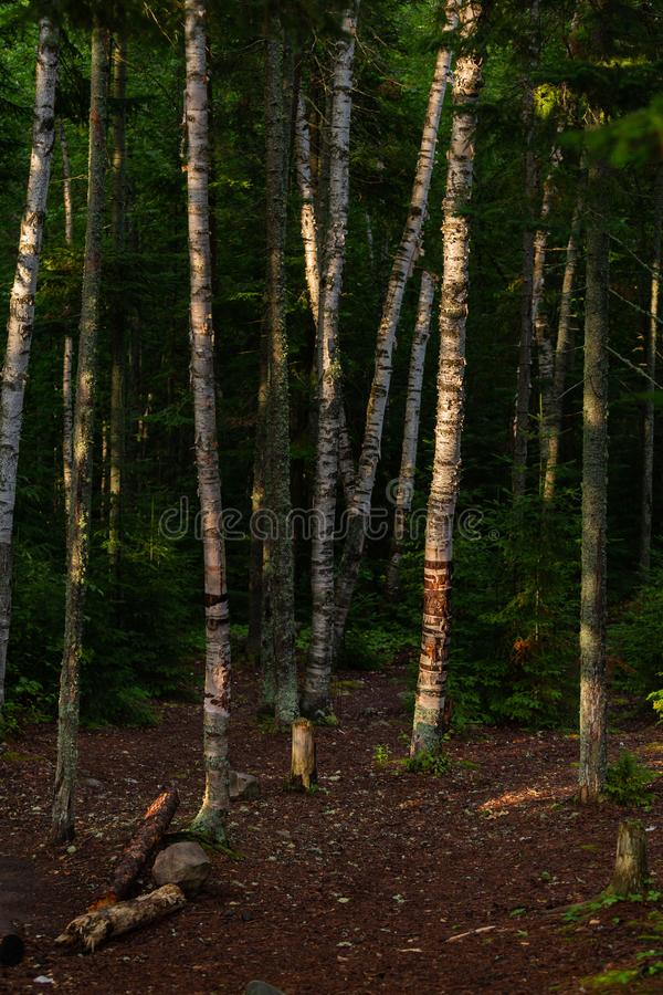 Algonquin δέντρων σημύδων δασικό πάρκο στοκ εικόνα