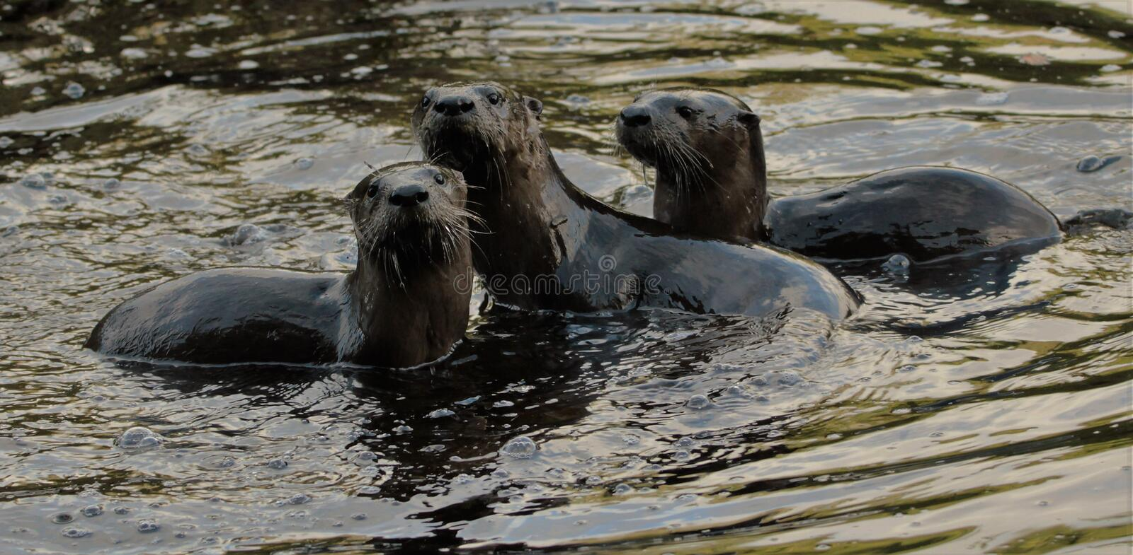 ALGONQUIN PARK OTTER TRIO royalty free stock photos