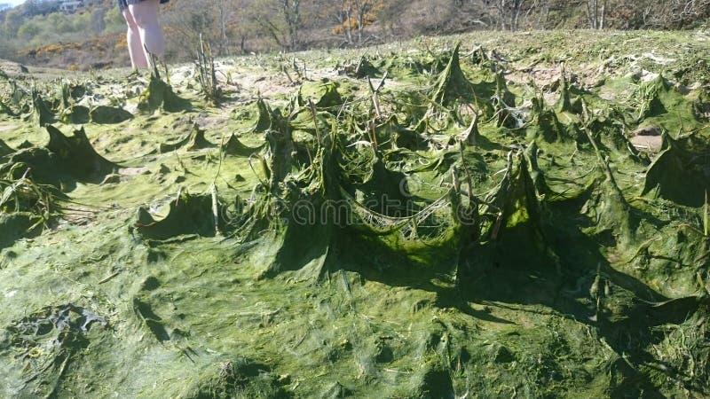 Algue à la péninsule de gower photos libres de droits