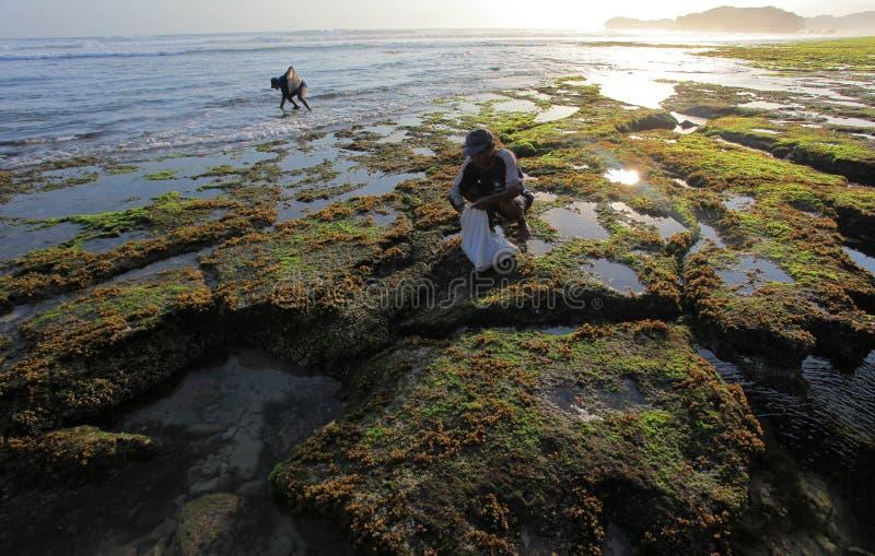 Algue de chercheurs sur la montagne de kidul de soemandeng de plage images stock