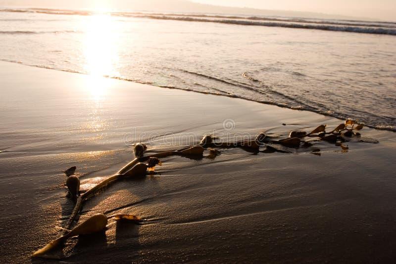 Algue sur la plage 1 photo libre de droits