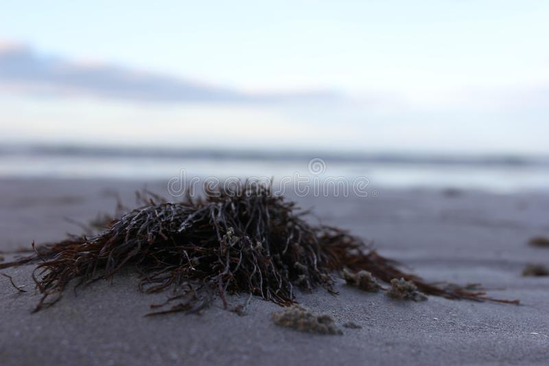 Algue sur la plage photo stock