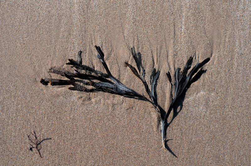 Algue sur le sable image stock