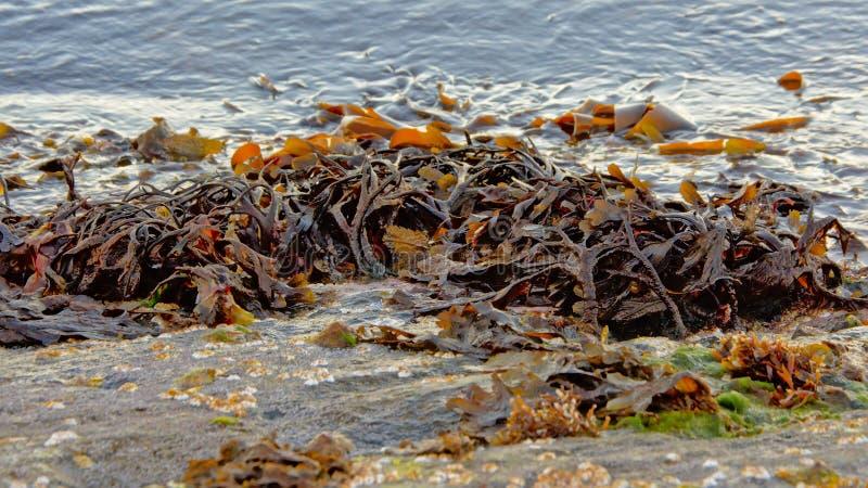 Algue sur un rivage de roche photos stock