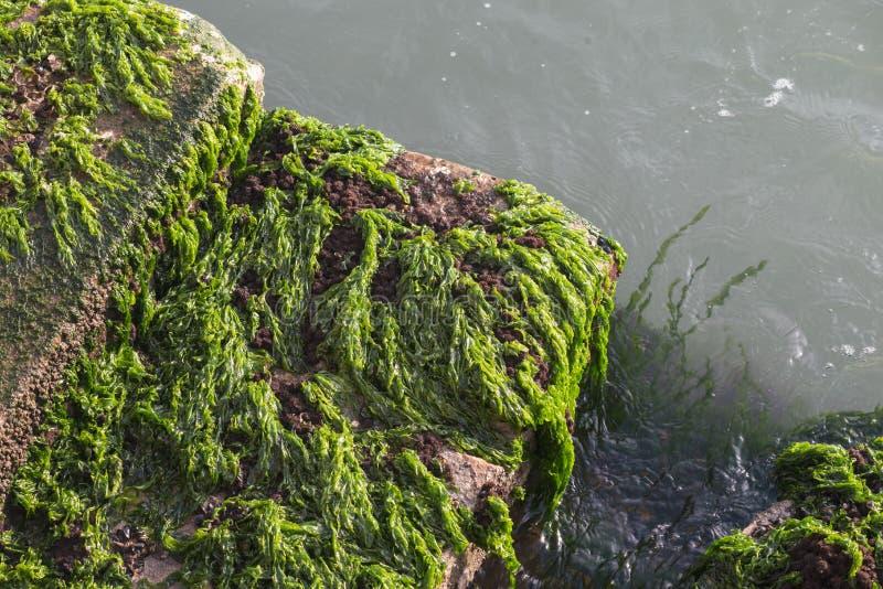 Algues sur des étapes photos libres de droits