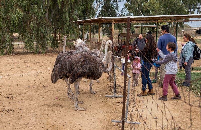 Algum criança que alimenta as avestruzes na exploração agrícola da avestruz israel fotos de stock