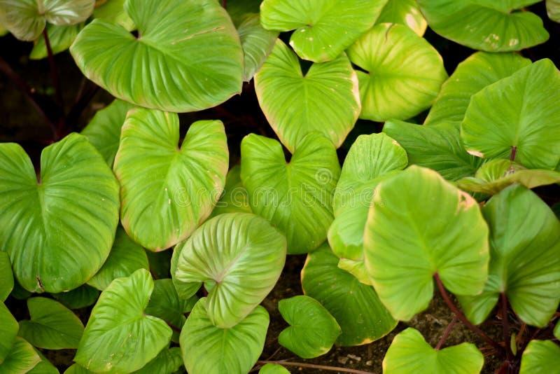Algum foco do fundo verde da superfície do teste padrão das folhas, imagem de stock