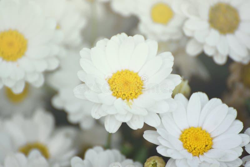 Algumas flores do marguerite do branco Jardim da margarida com pétalas abertas e os estames amarelos fotografia de stock royalty free
