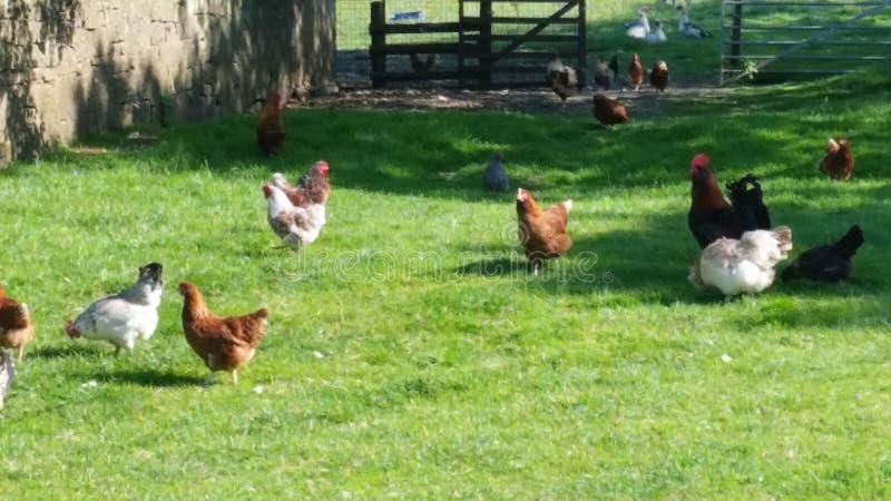 Algumas galinhas agradáveis imagens de stock royalty free
