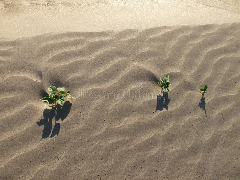 Algumas plantas crescem no deserto fotos de stock royalty free