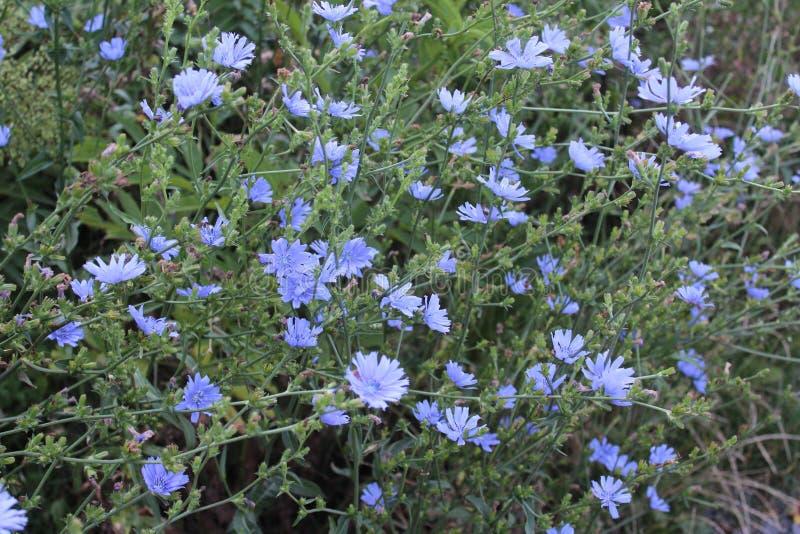 Algunas flores del azul fotografía de archivo