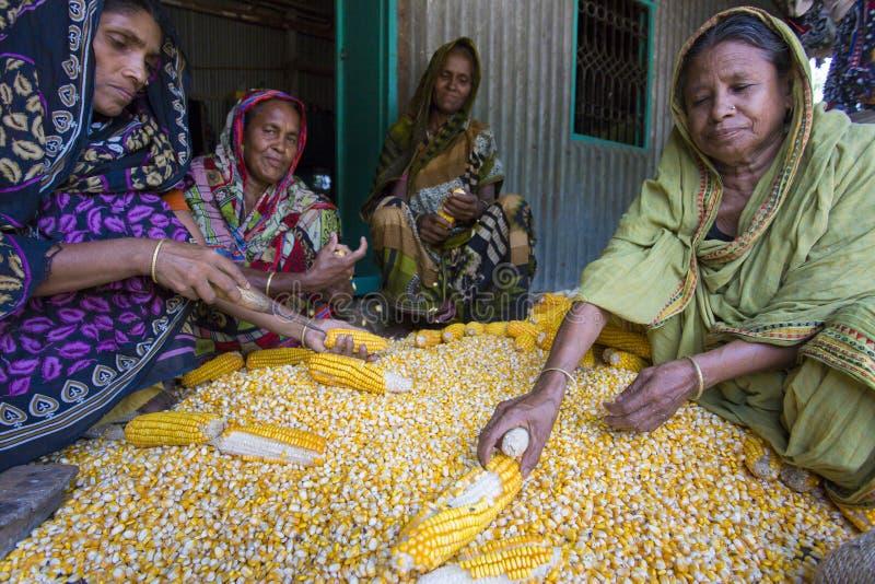 Algunas mujeres locales que recogen el maíz, Manikgonj, Bangladesh fotografía de archivo