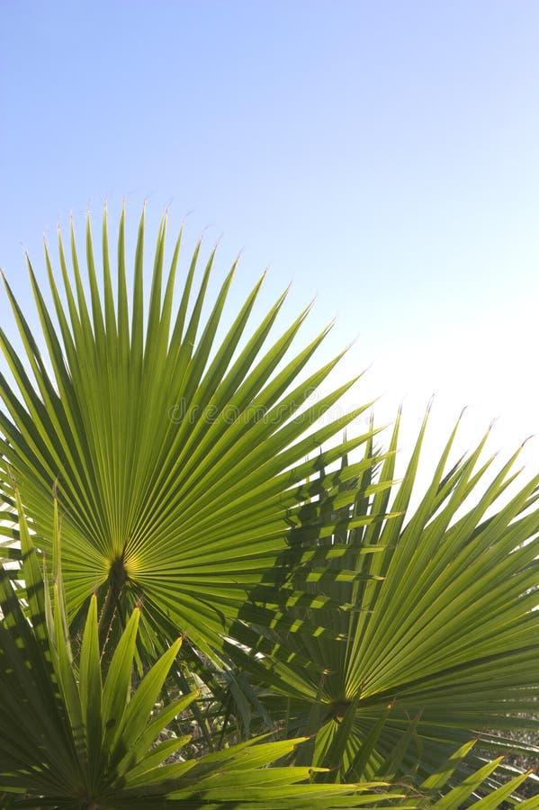 Algunas ramas del ³ del palmetto o del margallà con el espacio de la copia en el top fotografía de archivo libre de regalías