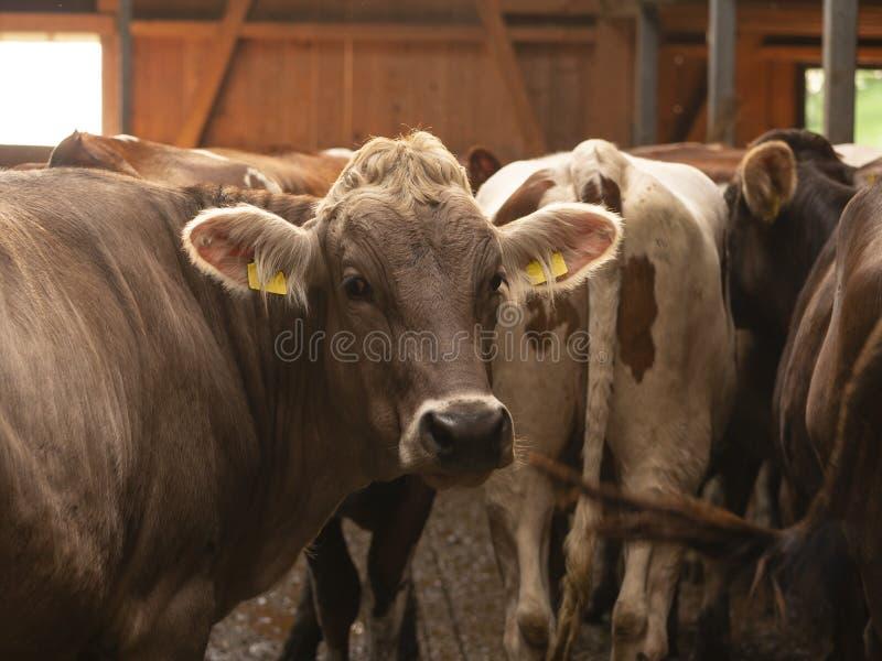 Algunas vacas marrones en un establo de madera hermoso imagen de archivo libre de regalías