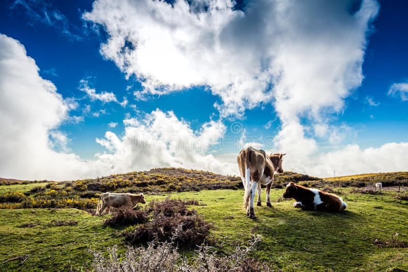 Algunas vacas que pastan en la meseta, Madeira fotos de archivo