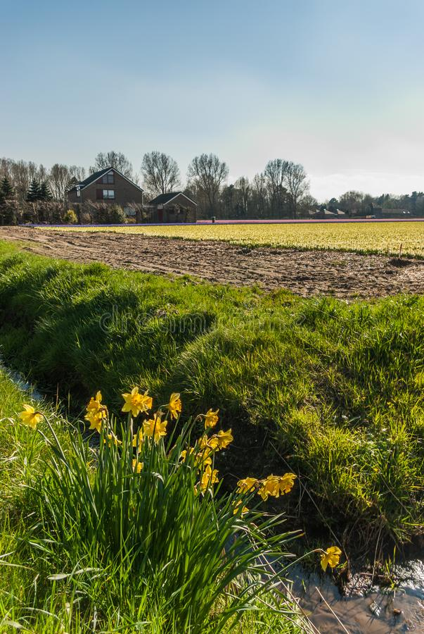 Algunos narcisos escapados miran hacia fuera sobre los campos de flor foto de archivo libre de regalías