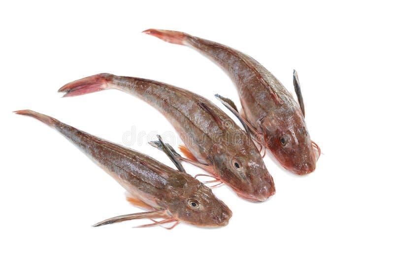 Algunos surmullets o salmonetes rojos rayados en un fondo blanco fotografía de archivo