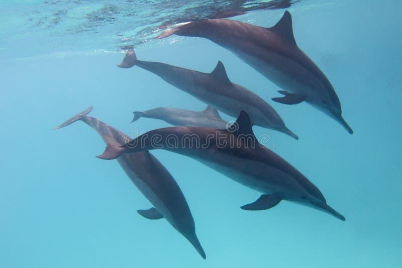 Alguns golfinhos no mar tropical em um fundo da água azul foto de stock royalty free