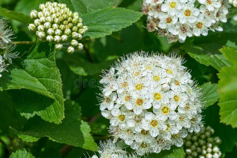 Alguns grupos das flores brancas desenvolvidas e não florescidas foto de stock