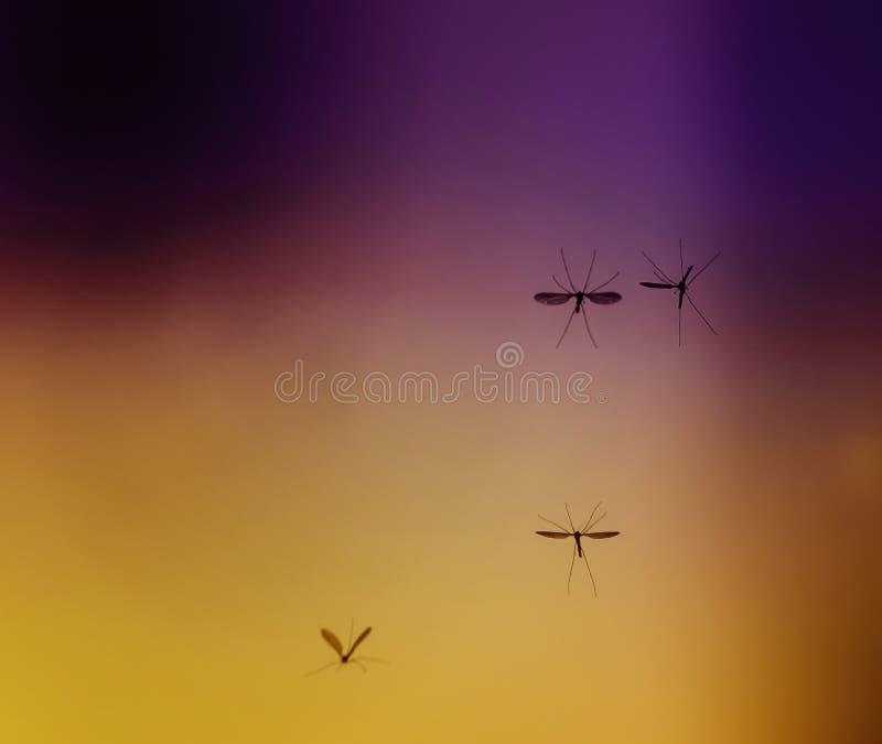 Alguns mosquitos perigosos pequenos desagradáveis dos insetos voam contra imagem de stock