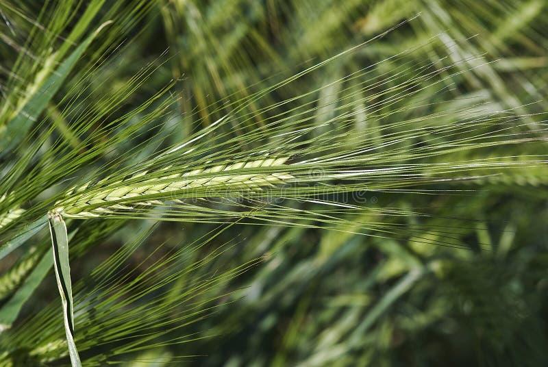 Download Alguns Pontos Longos Da Cevada. Imagem de Stock - Imagem de agricultura, vegetal: 12805079