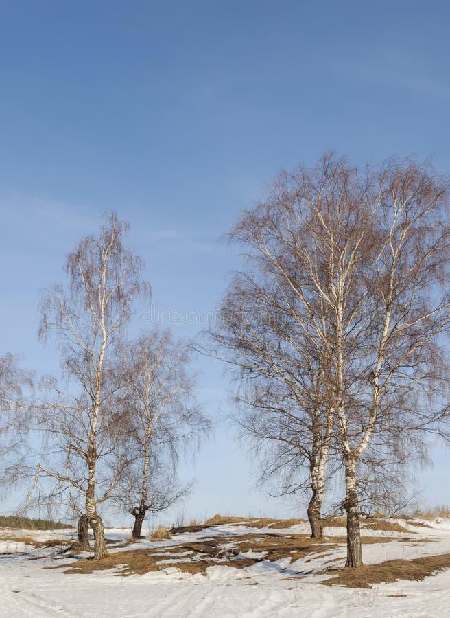 Alguns vidoeiros desencapados no tempo de inverno imagem de stock