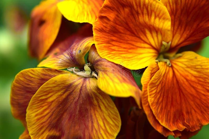 Alhelí (anaranjado) imagenes de archivo