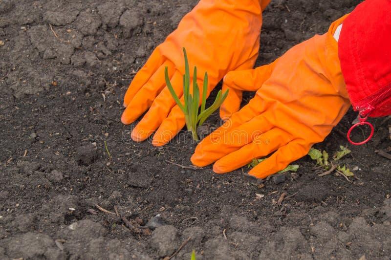 Alho da planta nova nas mãos de luvas vestindo de um agrônomo O conceito da criação de animais, da proteção de planta e do rendim foto de stock royalty free